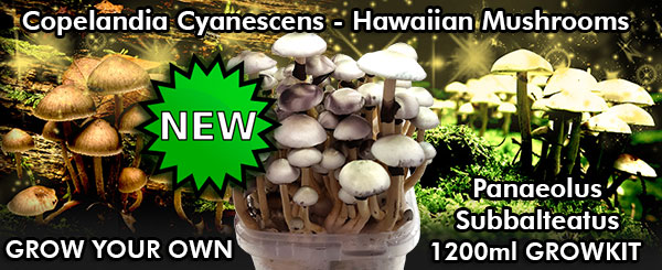 buy cyanescens copelandia hawaiian mushroom grow kit