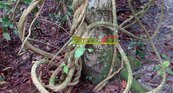 Caapi Ayahuasca Kit 1