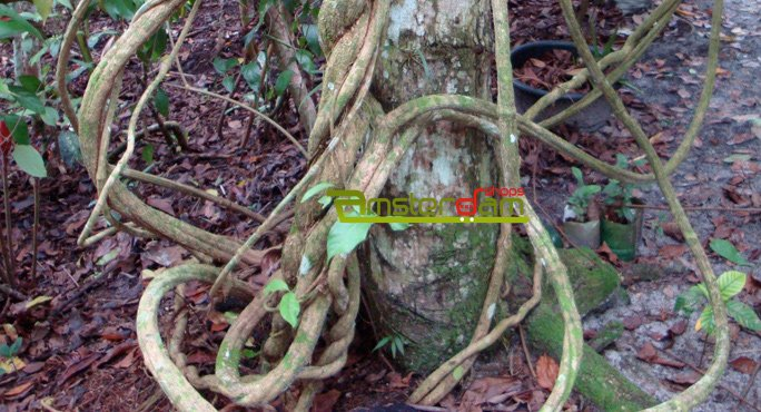 Banisteriopsis caapi kit 2