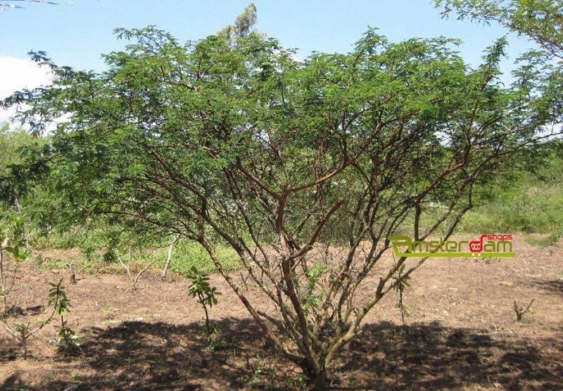 mimosa hostillis ayahuasca kit 2