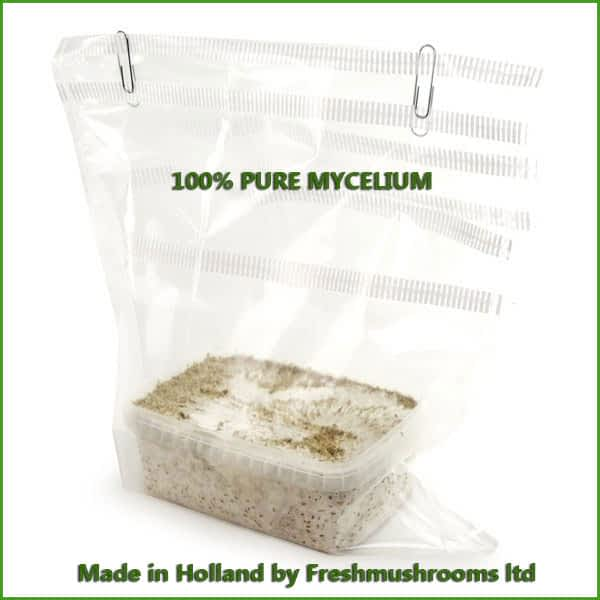 B+ 1200ml grow kit freshmushrooms mycelium cubensis