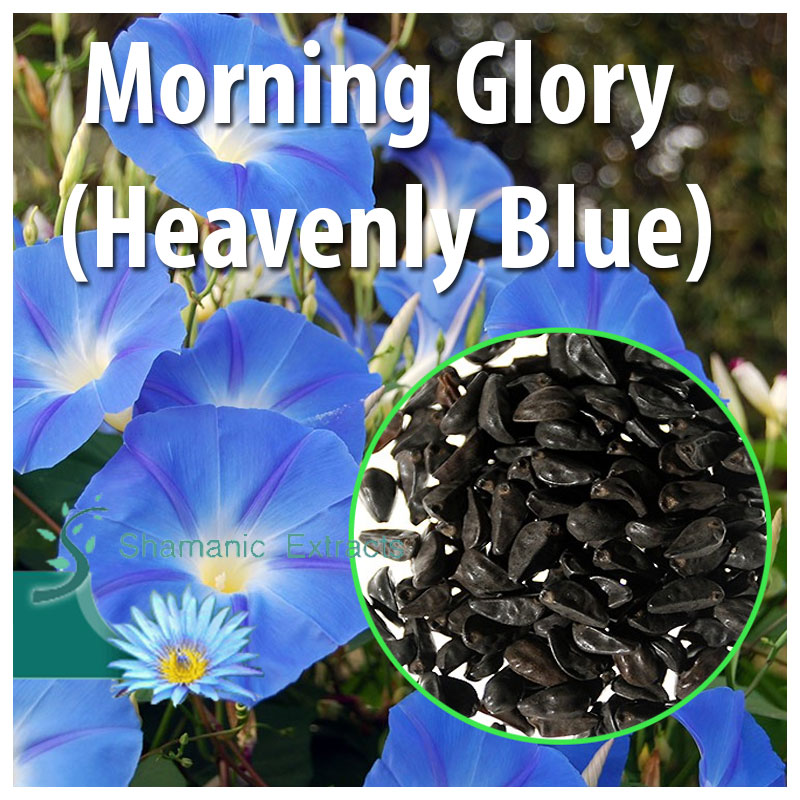 Morning Glory (Heavenly Blue)