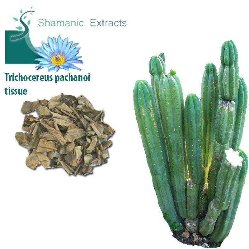 Trichocereus pachanoi tissue