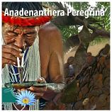 Anadenanthera Peregrina (Yopo) seeds
