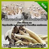 Panaeolus Subbalteatus