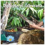 Diplopterys cabrerana leaves