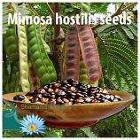 Mimosa hostilis seeds