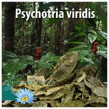 Psychotria viridis leaves