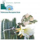 Trichocereus Macrogonus tissue